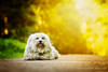 Poser (buchsammy) Tags: dog pet color animal photoshop canon germany de deutschland herbst september hund ralf flare mika farbe blick haustier tier havanese badenwürttemberg 2015 weis brav bitzer donaueschingen langhaar apsc hüfingen havaneser buchsammy canonef100mmf28lmacroisusm hüfingen ralfbitzerphotography sonyalpha6000 ralfbitzerphotographygmailcom