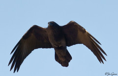 Common Raven (jdcalvin096) Tags: black feathers common egglaying naturescreations