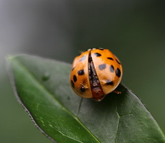 ready for take-off (bugman11) Tags: orange macro nature animal animals canon bug insect leaf beetle nederland thenetherlands insects bugs ladybird ladybug ladybugs dots beetles 1001nights ladybirds thegalaxy platinumheartaward 100mm28lmacro 1001nightsmagiccity vigilantphotographersunite