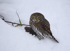 Northern Pygmy Owl with prey (Khanh B. Tran) Tags: