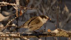 Gray Jay (jdcalvin096) Tags: nature minnesota feathers peanutbutter grayjay egglaying naturescreations