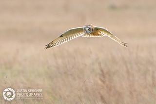 Wild Short Eared Owl in Flight VI