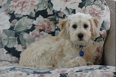this-is-little-maddie-at-7-months-old--she-is-on-of-ceces-girls-and-shes-just-been-to-the-groomer-_192120216_o