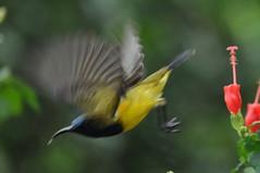 Sun bird (Lim SK) Tags: sun bird flying flight