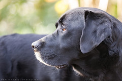Are we being followed? (Marcus Legg) Tags: marcuslegg max dog blacklabradorretriever black labrador retriever pet outdoors woods woodland forest green bokeh canon eos 1dmarkiv magicdrainpipe ef80200mml28