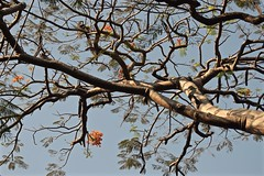 Twisted With Time (The Spirit of the World) Tags: tree old ancient limbs twisted flowers flametree nature cochin kochi india kerala southernindia blossoms harbor fortcochin