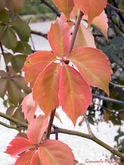 Autumn leaves (giancarlo.paganelli47) Tags: parthenocissus quinquefolia