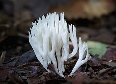 Ivoorkoraaltje - Ramariopsis kunzei (Foto by Yves) Tags: gomphaceae fungi 100mm macro