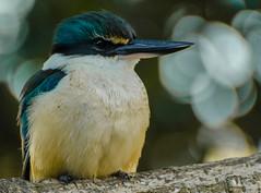 16A_7442-2 (Jimharding) Tags: auckland devonport todiramphussanctus kingfisher