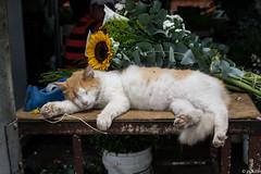 Siesta (flower cat) (pukilin) Tags: nikond3100 35mm color gato mercado market cat siesta caracas venezuela