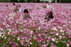Scene of autumn (Colorful-wind) Tags: 2016 autumn color colorful cosmos fall flower fujifilm fukuoka japan park pink plant white xt1