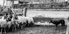 Farm working dog and attentive sheep........... (steve.gombocz) Tags: blacknwhite greyscale blackwhite bwscenes bw bwfarm animals sheep sheepdog farm flickrbw bwflickr blackwhitephotos blackwhitephotography blackwhitephotographs blackandwhite bwphotos bwphotographs bwphotography bwpictures flickrblackandwhite flickrblackwhitephotos flickraddict flickraddicts explorebw exploreblackandwhite cumbria lakedistrict westcumbria out outandabout explorebwphotos workingdog olympus olympususers olympuscamerausers olympuseurope olympusbw olympusmzuiko25mmf18lens olympusm25mmf18 olympusem5mark2 olympusdigitalcamerausers olympusblackandwhite micro43rdsuk olympuszuikodigitalclub noiretblanc schwarzundweiss negroyblanco zwartwit neroebianco sortoghvid mustavalkoinen svarthvitt svartoghvitt svartochvitt czarnyibiaty pretoebranco noirblanc schwarzweiss negroblanco nerobianco pretobranco