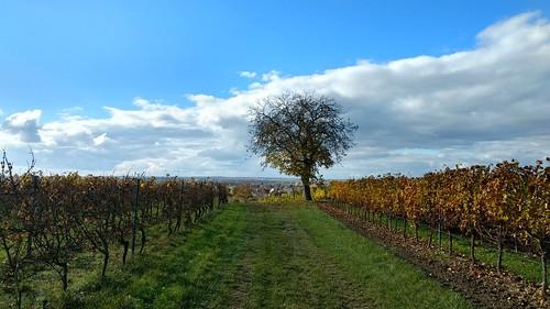 Herbst in den Weinbergen über Selzen