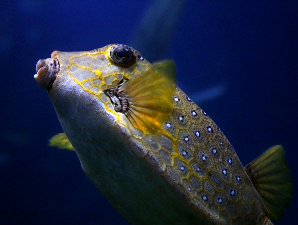 The world 39 s best photos of aquarium and pufferfish for Types of puffer fish