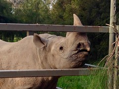 Black Rhino (Saunderses) Tags: dubbo dubbozoo westernplains rhinoceros blackrhino