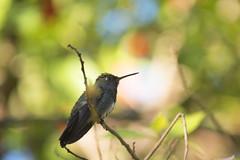 Hummingbird puppy (mara.arantes) Tags: hummingbird puppy filhote bird beijaflor passarinho nature digital nikon eco naturaleza bokeh brazil