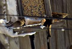 Sparrows (~nevikk~) Tags: birds windowshot neighborsyard birdfeeder southwindowsnowbirdsetc11192016