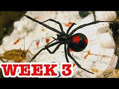 Deadly Redback Spiders Attack Stick Spider & Vaseline Controls Week 3 (Download Youtube Videos Online) Tags: deadly redback spiders attack stick spider vaseline controls week 3