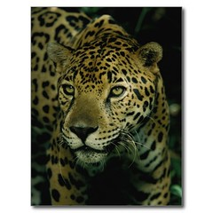 Jaguar (1) (lostinmaroc) Tags: jaguar animal mammal bigcat big cat postcard jungle