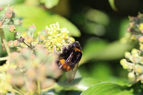 Buff Tailed Bumble Bee, Tram Road, Upper Cwmbran 31 October 2016