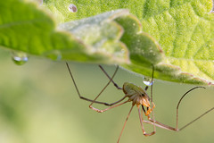 Faucheux (CCphoto12) Tags: arachnide araignée faucheux nature opilione rouhenac
