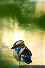_MG_5536_web (Erik Koffmar) Tags: green mandarinduck duck mandarin yellow autumn uppsala sweden norby koffmar colorful bird