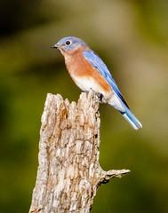 Eastern Bluebird (shooter1229) Tags: bird heronpark outdoors avian wetlands animal easternbluebird nature