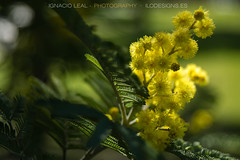 Silver wattle (ILO DESIGNS) Tags: nature flora tree flowers spring outdoors sunlight close yellow green sevilla spain europe acacia
