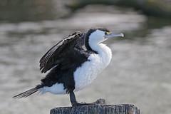 Pied Shag (Alan Gutsell) Tags: pied shag piedshag cormorant seabird coast alan fish christchurch wildlife photo nature birds newzealandbirds