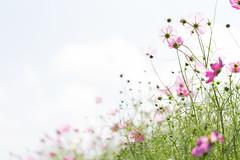 cosmos (tomoaki ooita) Tags: cosmos autumn eos6d canon flower pink    bokeh  ef100mmf28lmacroisusm
