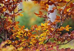 Herbstlaub (WolfgangDengler) Tags: herbst herbstlaub gold braun bokeh blur gelb grün nokton voigtlaender wald buche buchenlaub autumn natur nikon d800 58mm slii ngc