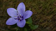 Flower - iek (omardaing) Tags: flowers spring color macro purple iek mor bahar flower pentax k10d pentax35mmf28limited