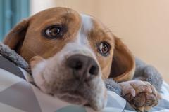 Snoozy Beagle (- Jan van Dijk) Tags: snoozy beagle chien perro hund hond k9 bestfriend