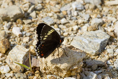 Chlosyne melanarge (K. Zyskowski and Y. Bereshpolova) Tags: mexico butterfly nymphalidae nymphalinae chlosyne melanarge