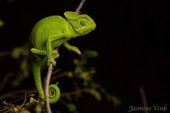 Indian chameleon (Chamaeleo zeylanicus) (jasmine_vink) Tags: