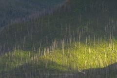 Rebirth (Bob Bowman Photography) Tags: forest light green trees mountains heal healthy rebirth rejuevenate glaciernationalpark montana fire earth landscape