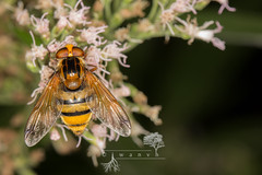 Volucella inanis (iwanvh) Tags: arthropoda combelavaux diptera fauna insecta rnn volucellainanis art artist biodiversity environement iwan iwanvh naturalist naturaliste nature photographe photographer stage syrphidae vanhoogmoed wwwiwanvhcom