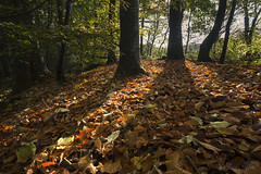 Floor of Gold (shawnraisin d+p) Tags: blackcovert canon6d ceredigion cymru helicon nature place shawnwhite uk wales westwales autumn beech colours deciduous forest forestry glowing gold harmonious leaves mood peaceful relaxing serene serenity stacking sunny tree trees weather wood woodland woods