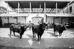 corroda-en-el-corral (Manon71) Tags: 12demayode2016 elventorrillo sanisidro2016 bullfight bulls corrales espaa lasventas madrid spain tauromachie tauromaquia toreros toros espaa