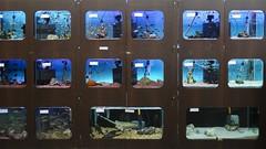 Aquarismo 04 (Parchen) Tags: aqurio aquarismo aqurios peixes ornamentais guadoce criao venda loja exposio coloridos variedade peixestropicais foto fotografia imagem registro parchen carlosparchen