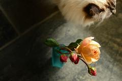 I can help. (balu51) Tags: garten rosen knospen vase apricot rot trkis katze flower roses rosebud bottle cat orange red teal turquoise grey lowlightconditions 100xthe2016edition 100x2016 image85100 november 2016 copyrightbybalu51