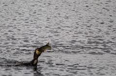 IMG_0388 (1a) (Alinbidford) Tags: alancurtis alinbidford brandonmarsh cormorant