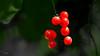Smilax aspera - Akdeniz Saparnası (omardaing) Tags: trees flowers red forest spring nature light tree beautiful green botanical aspera bitki pentax k10d smilax saparnası pentaxda300mm