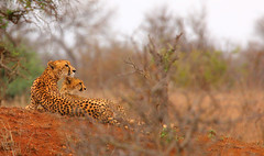 after a failed hunt... (tdwrsa) Tags: canoneos70d tamronsp150600mmf563divcusda011 krugerpark cheetah