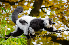 Black and White Ruffed Lemur (Mathias Appel) Tags: grn black white ruffed lemur schwarz weiser vari lemuren animal tier zoo tierpark deutschland germany eyes augen madagaskar madagascar fell fur niedlich adorable cute eye auge feet fse foot fus nikon bokeh world festival day critically endangered public domain blurred background leaves green tree branch iucn red list bamboo bambus schwarzweis lmur rufo blanco y negro noir et blanc bianconero wari vareciapretoebranco svartvit var lady outside screaming schreien schrei scream