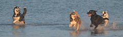 """""""We are like islands in the sea, separate on the surface but connected in the deep. (Michael C. Hall) Tags: dogs playing play dog labrador chocolate friends happy splashing splash sea"""