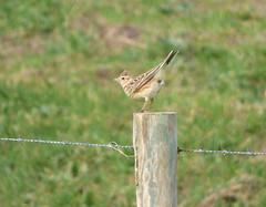 Skylark (Peanut1371) Tags: skylark bird post bemptoncliffs nationalgeographicwildlife