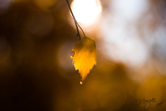 Autumn leaf (Morganographe) Tags: leaf feuille autumn automne svartmala sude sweden adventure aventure voyage trip