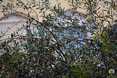 Moineaux mles poss sur un olivier (Ath Salem) Tags: algrie algeria nature macro arbre tree olivier olive moineau femelle mle dcouverte discover beautiful couple sparrow   female  nikon d5200 nikkor 55200mm