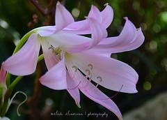 El sueño rosado / Pink Dream (suominensde) Tags: languageofflowers inflorescence inflorescencia blossom nikond5300 macro outdoor flower flor plant planta pink rosado nature naturaleza bokeh